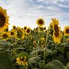 Field of Sunflowers _2004