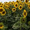 field of Sunflowers _1962