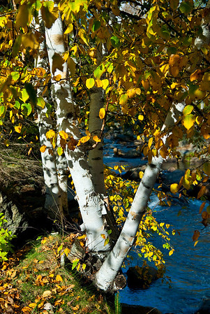 Birches along the Wildcat River, Jackson, NH