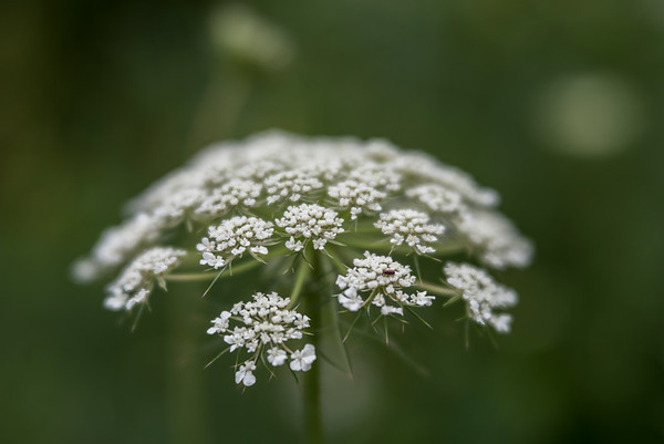 Queens Anne's Lace in bloom