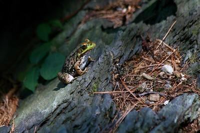 Frog at Broadmoor Wildlife Sanctuary, Natick, MA