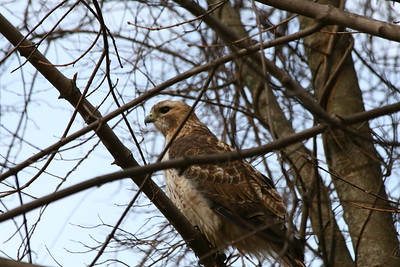 Red tail Hawk looking for lunch