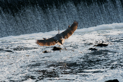 coming in for a landing- Blue Heron