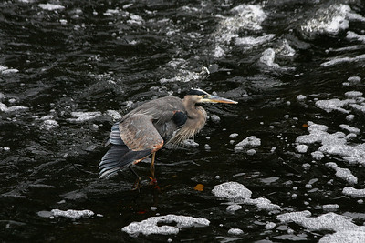 "The ""South Natick Falls Heron"""