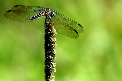 Dragonfly perch