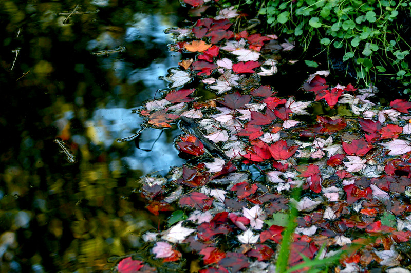 Red Maple on the water