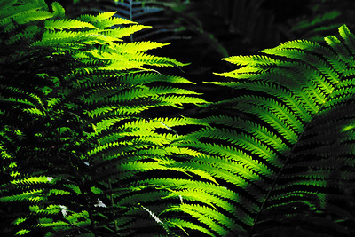 sunlight on the ferns