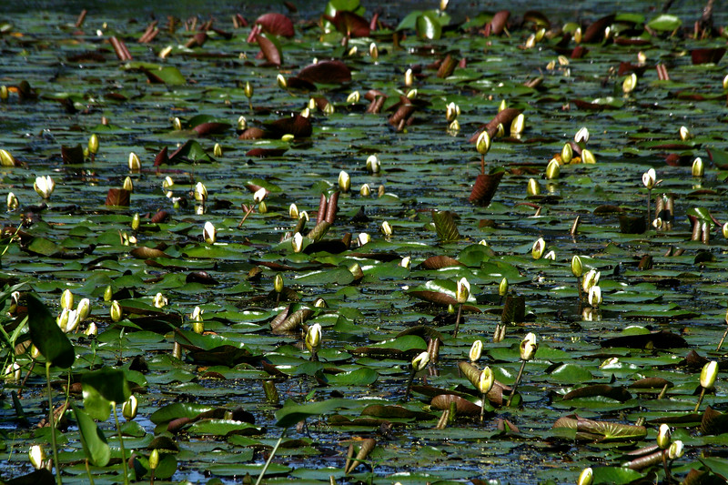 closed water lilies