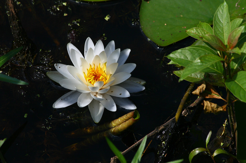 open water lily