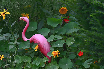 The elusive pink flamingo caught lurking in the neighborhood
