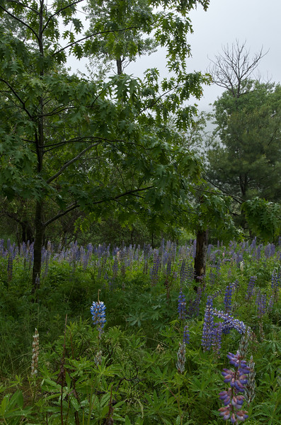 Rainy day lupines