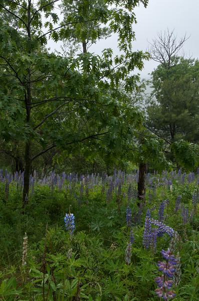 Rainy day lupines