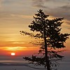 Pine tree at dawn