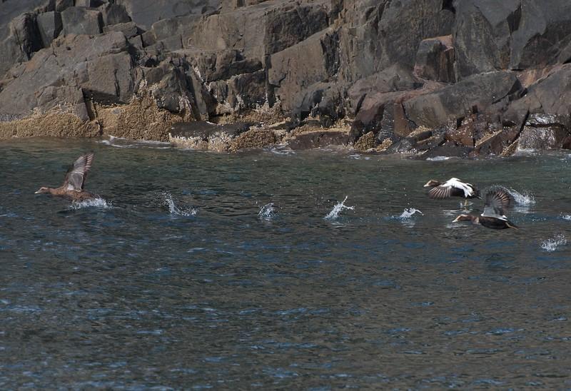 Eider duck take off