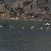 Eider duck take off