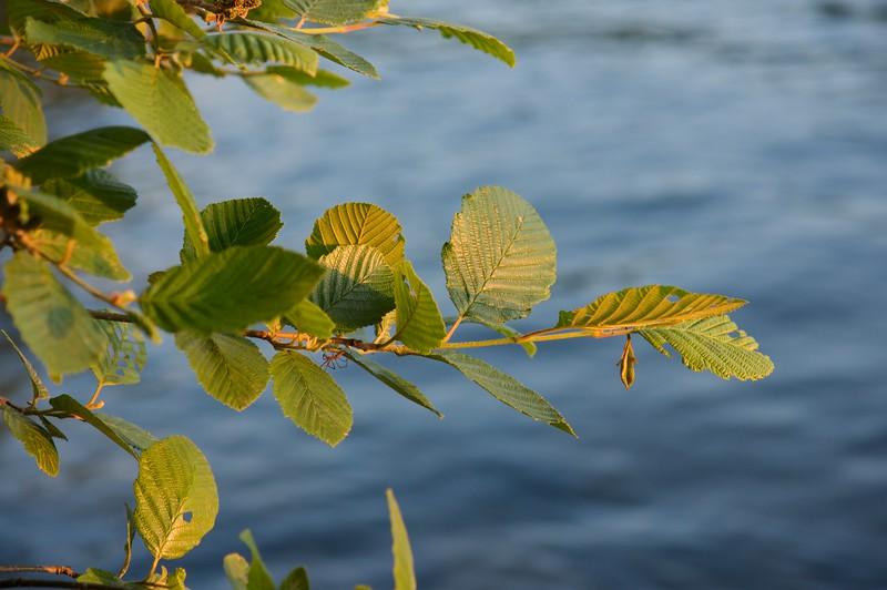 Leaves, evening light
