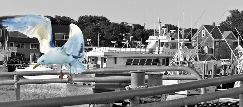 Seagull Flying Clr-B&W.jpg