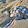 ShellEncrusted Horseshoe Crab