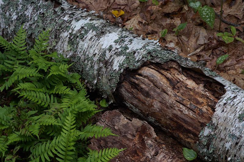 Birch with Ferns