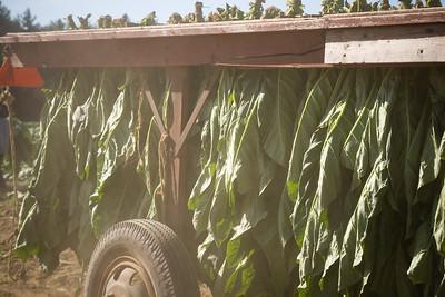 Connecticut Tobacco Fields