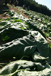 Connecticut Tobacco Fields 037