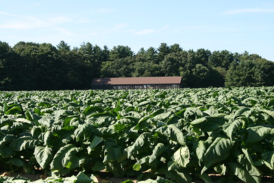 Connecticut Tobacco Fields 039