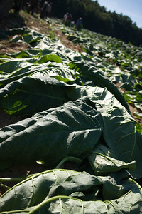 Connecticut Tobacco Fields 037Connecticut Tobacco Fields01