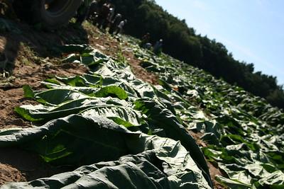 Connecticut Tobacco Fields 036