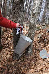 "Maple syrup begins as sap. Sap is the water and nutrients trees need to sprout leaves each spring. Sap flows upward from the roots to the branches. For maple trees, the sap is slightly sweet. You get the sap by drilling a ""tap"" into a maple tree and hanging a bucket from it. It's like a faucet for trees. Sap only flows as the days get longer and warmer, starting in February. By April, the trees will have what they need to bud new leaves."