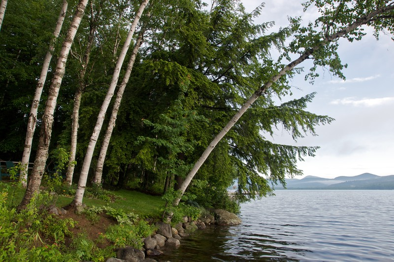 Birches on the Lake