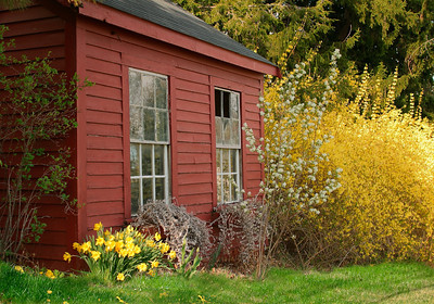 Forsythias in Bloom at the Red Shed, West Newbury, MA