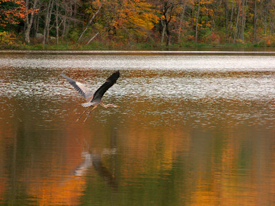 Heron in Flight, Mill Pond, West Newbury MA