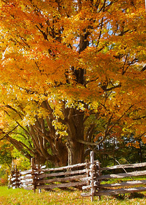 Stockade Fence With a Large Maple Tree in Autumn
