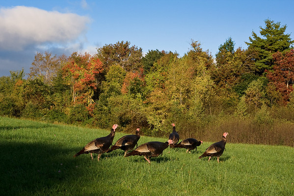 Wild Turkeys at Sunrise, West Newbury, Massachusetts