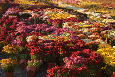 Mums On Display At a Nursery