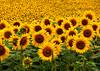 Field of Sunflowers, West Newbury MA