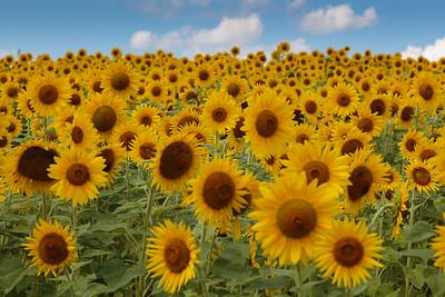 Sunflower Field, Newbury, Massachusetts
