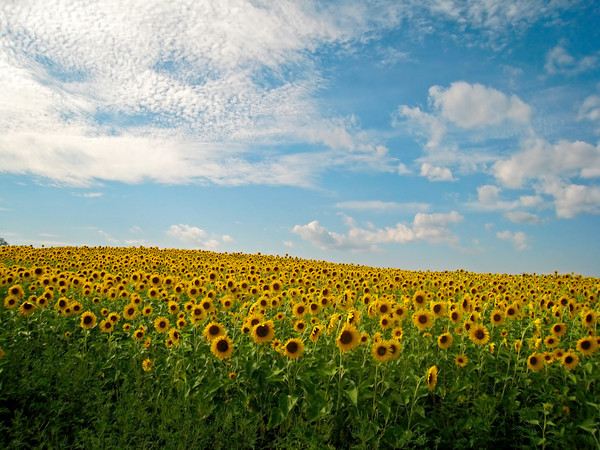 Sunflower Field, Newburyport MA