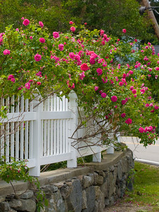 June Roses in Bloom, Rye Beach, NH