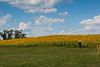 Sunflower Field, Newbury, Massachusetts