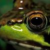 eye of a frog