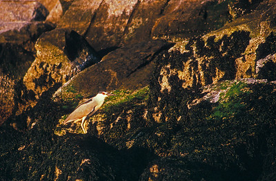 black-crowned night heron on breakwater