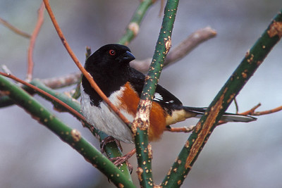 rufous-sided towhee green branches