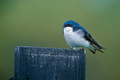 portrait of a tree swallow
