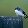 portrait of a tree swallow