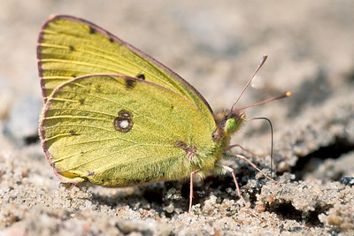 Common Sulphur butterfly