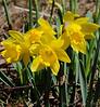 04/14/2011: Daffodils,daffodils, daffodils!