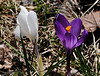 04/14/2011: deep purple and white crocuses