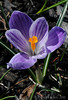 04/14/2011: purple crocus variation