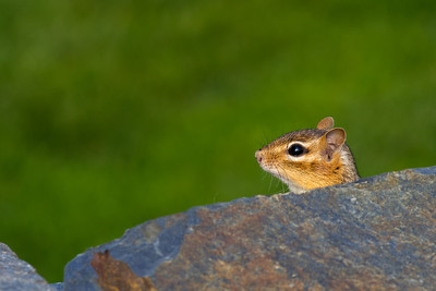 chipmunk profile